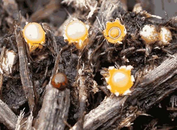 Artillery Fungus Spores Information Jen Pressure Wash